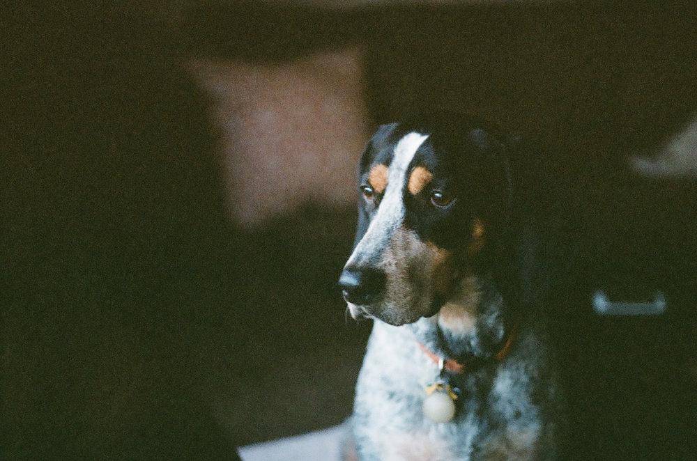 Charlotte-NC-Coonhound