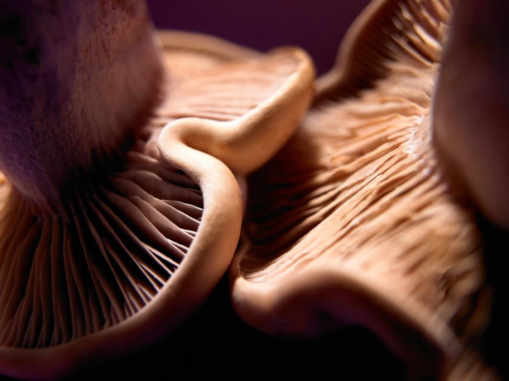 Wood blewit mushrooms