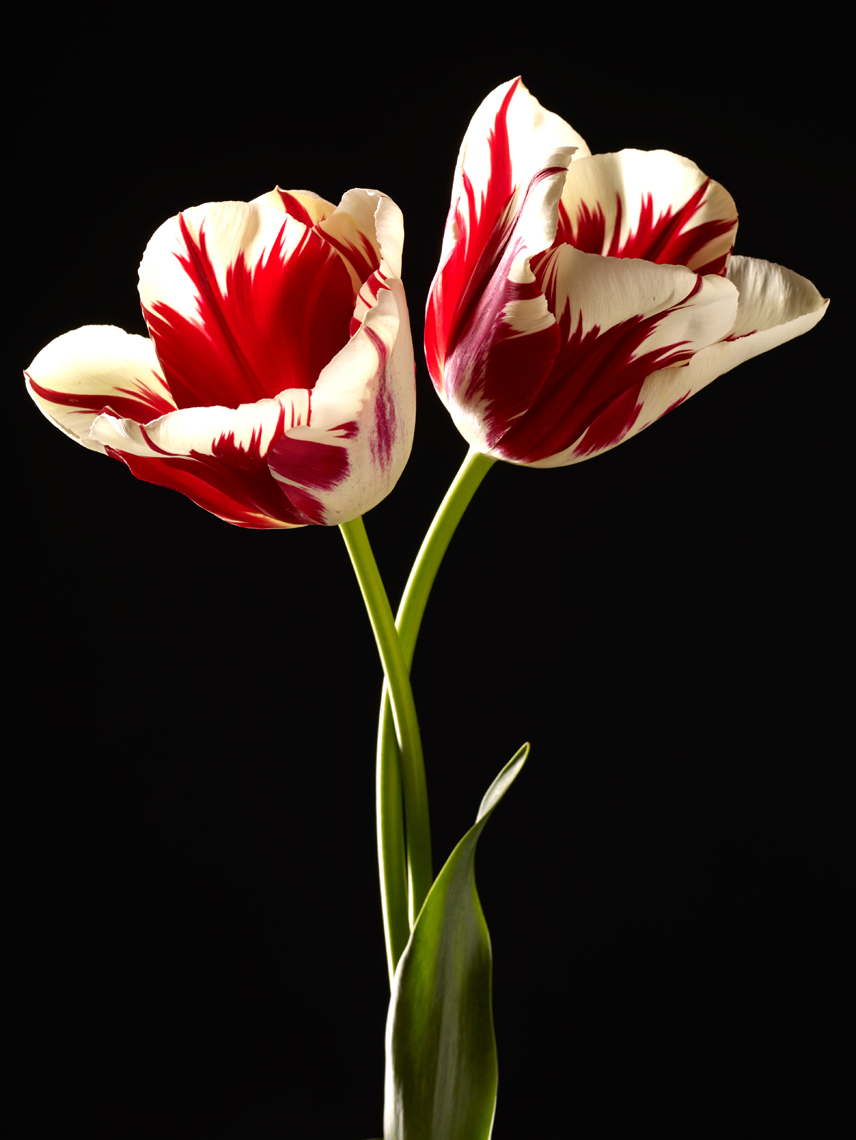 Two Zurel tulips on black