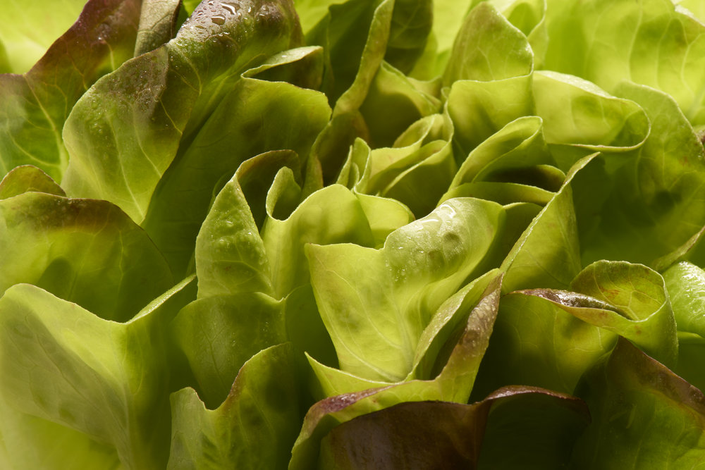 Red Butterhead lettuce