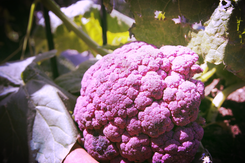 purplecauliflower