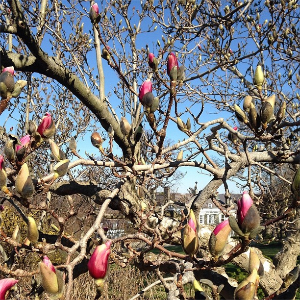 wave hill spring buds
