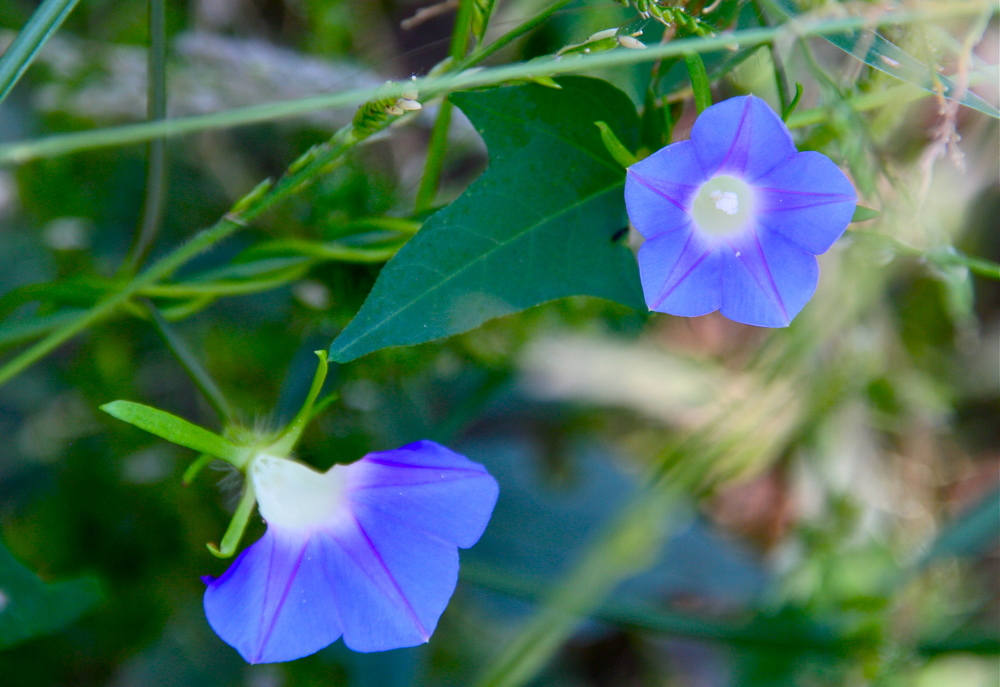 Ivy Leaf Morning-glory - note how much bluer this flower is than the triple leaf morning-glory, which is purple