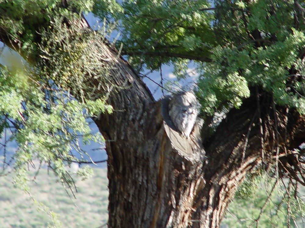 Screech Owl 2004