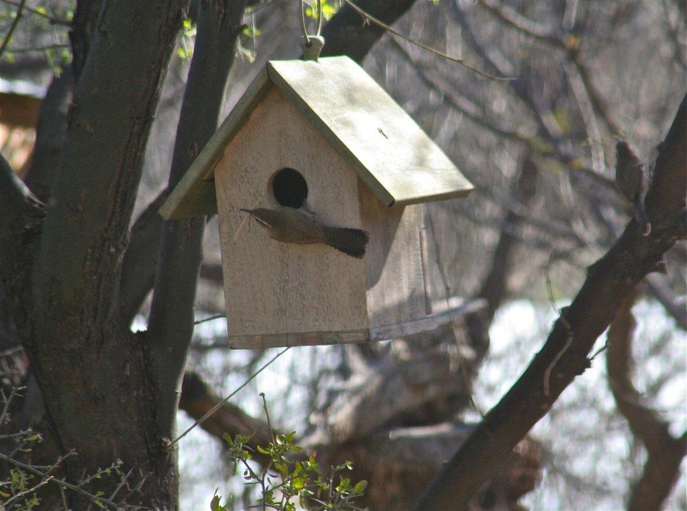 Bewick's Wren nesting.