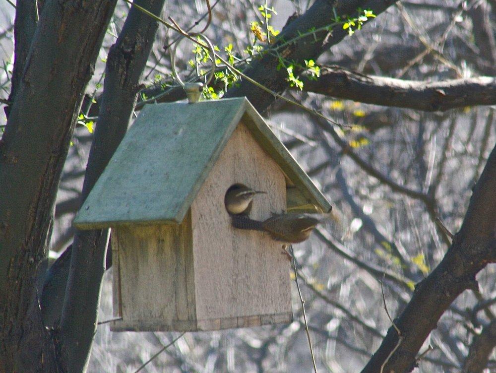 Bewick's Wrens nesting.