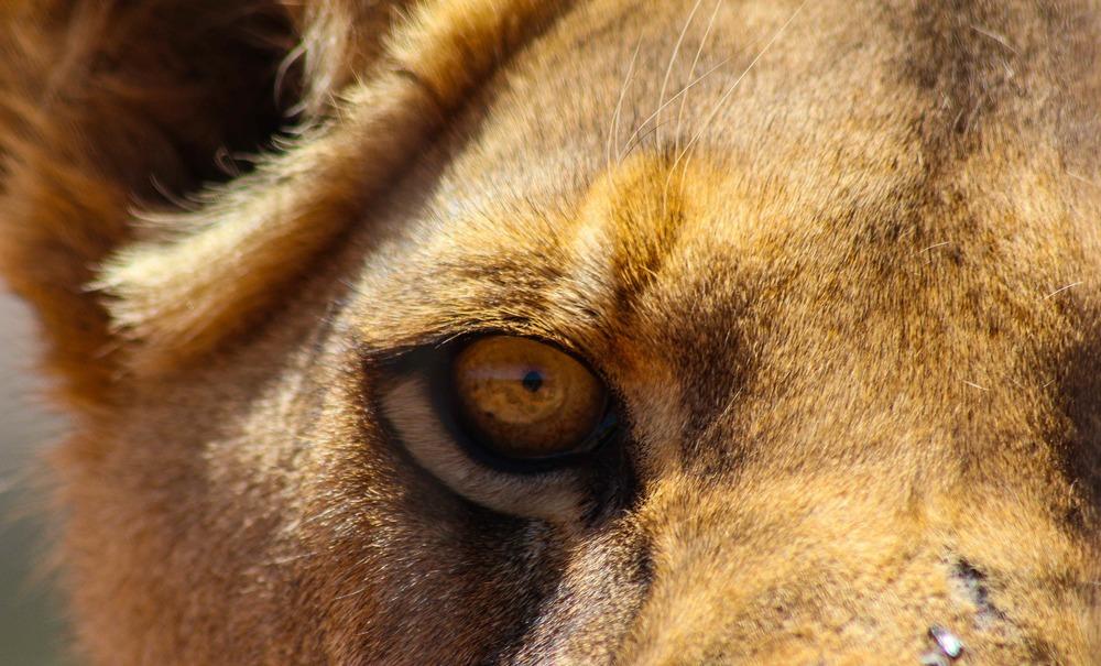 Lions eye.jpg