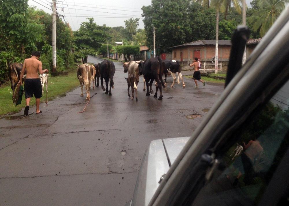 el-salvador-cows-in-road-01.jpeg