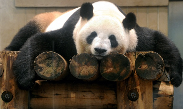 Giant Panda, Photo from Ueno Zoo