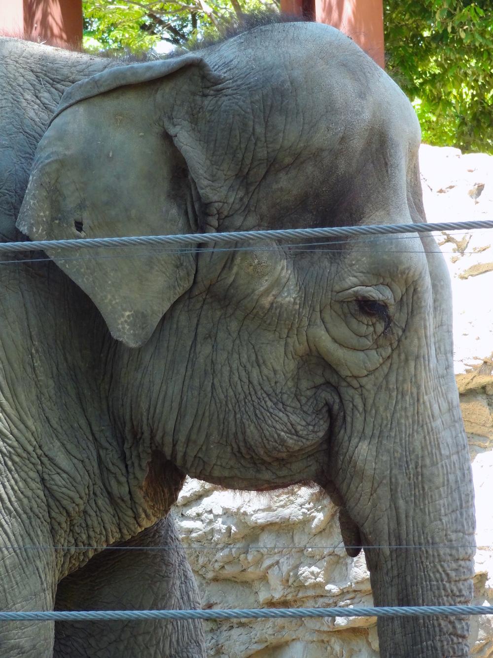 Ueno Zoo Elephant
