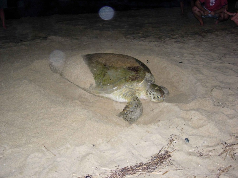 A nesting Logger Head Sea Turtle by rossmannellcomments.edublogs.org
