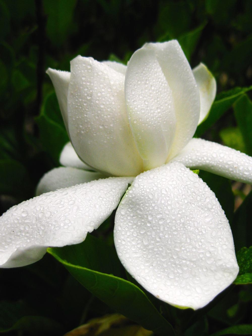 A beautiful gardenia on Shikoku Island