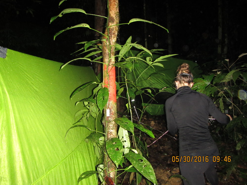 Ariel setting up a Nubé on a rainy evening, in the heart of the Temburong rainforest, at the end of a Biology field study. Photo by Dr. David S. McLeod.