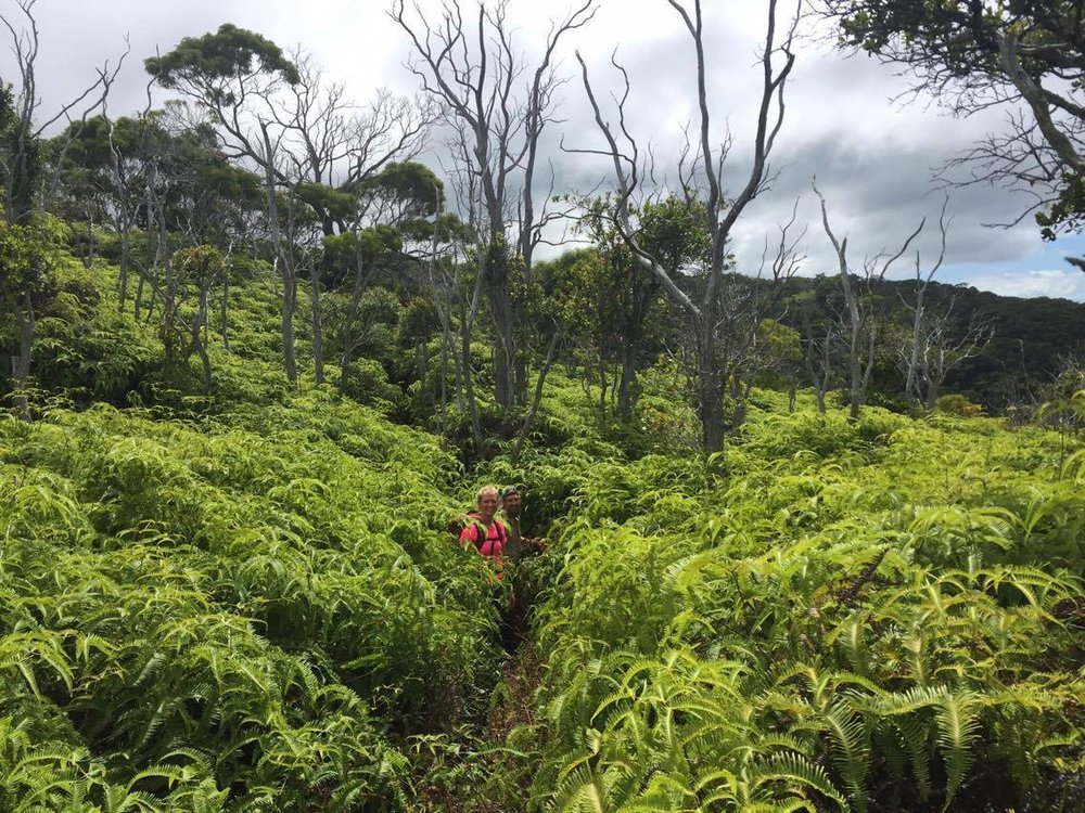 Traversing large sections of native ferns on the trail to Waimea Canyon on the island of Kauai, Hawaii.
