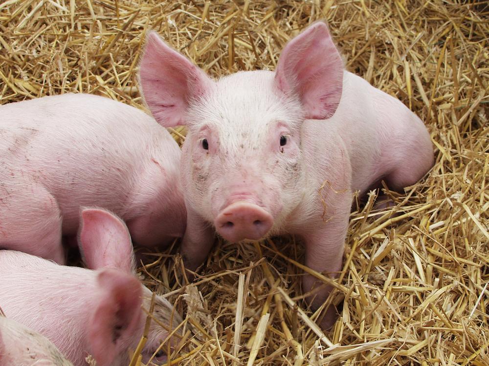 Schweine1.JPG