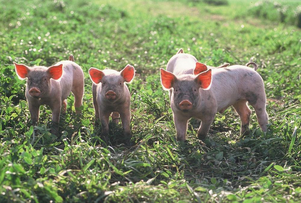 Schweine7.JPG