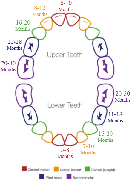 Rainbow Tooth Eruption Chart.jpg
