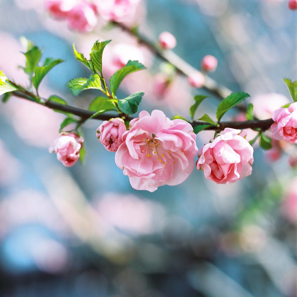 Beijing Blossom