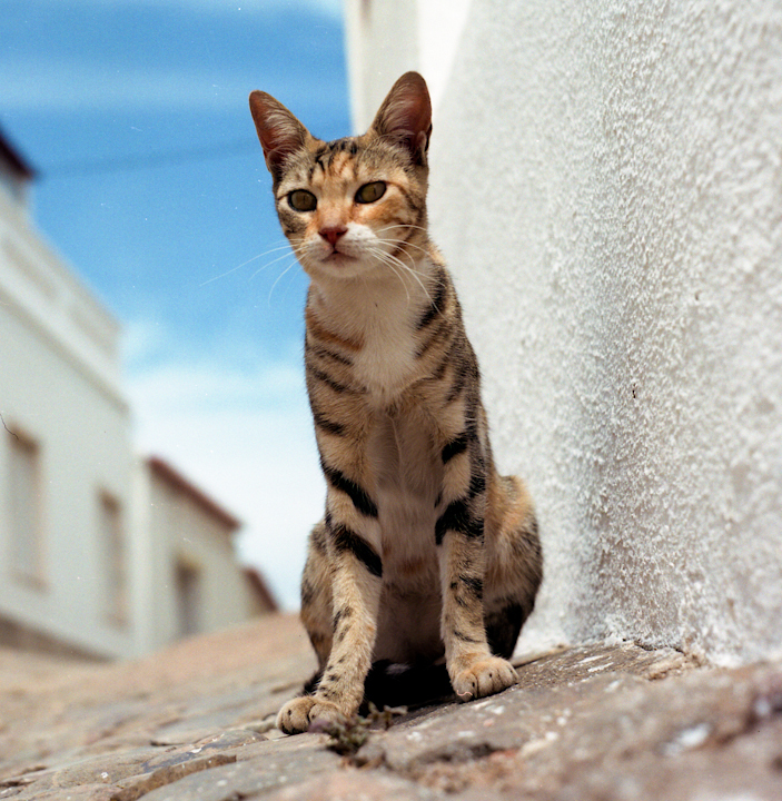 Moorish Cat