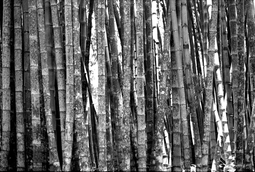Bamboo.Jardim Botânico, Rio de Janeiro
