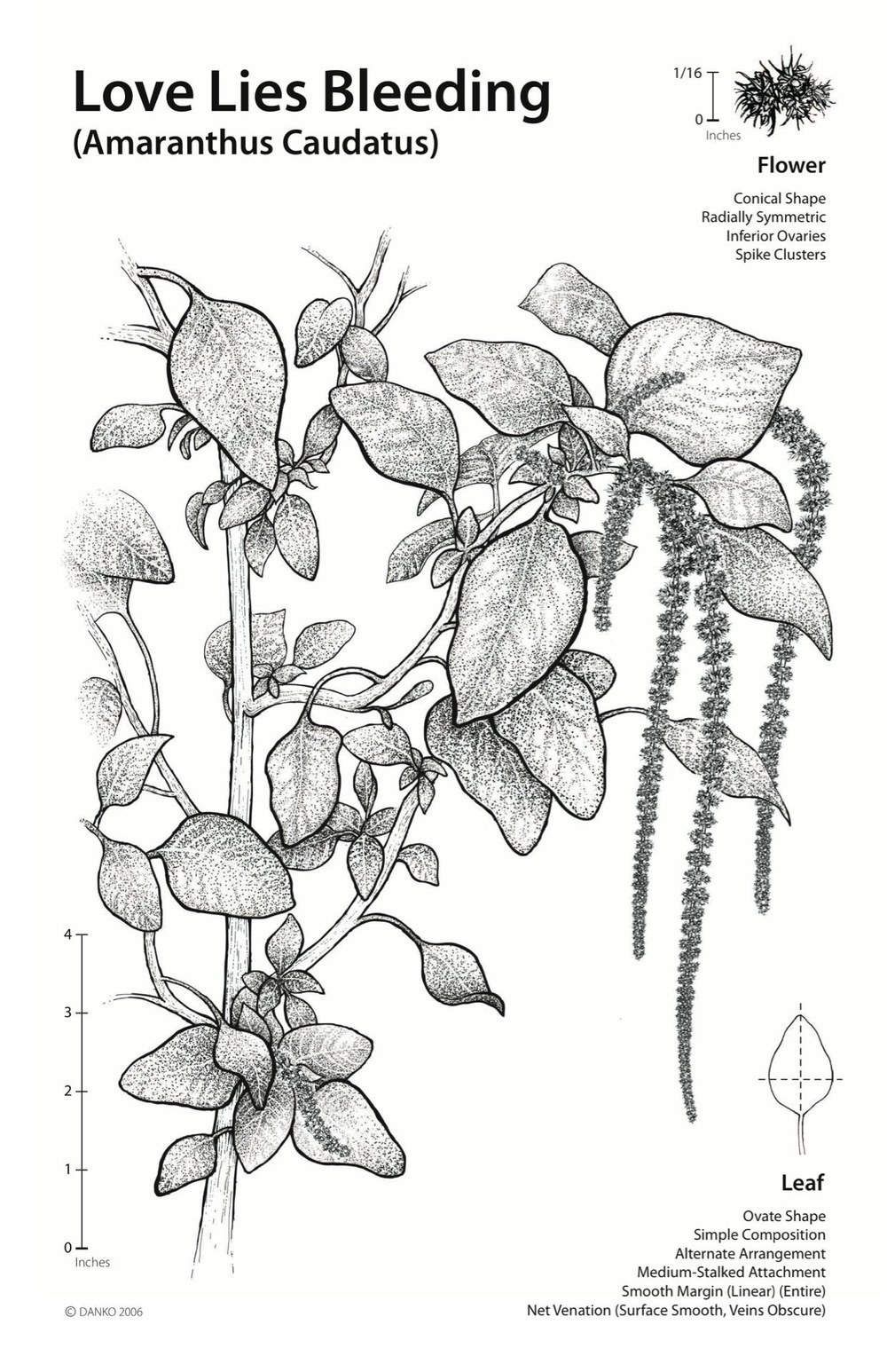 Amaranthus Caudatus Botanical Illustration