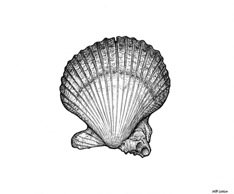 Bivalve Mollusk Line Art