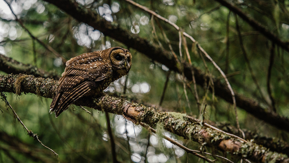 Male Spotted owl