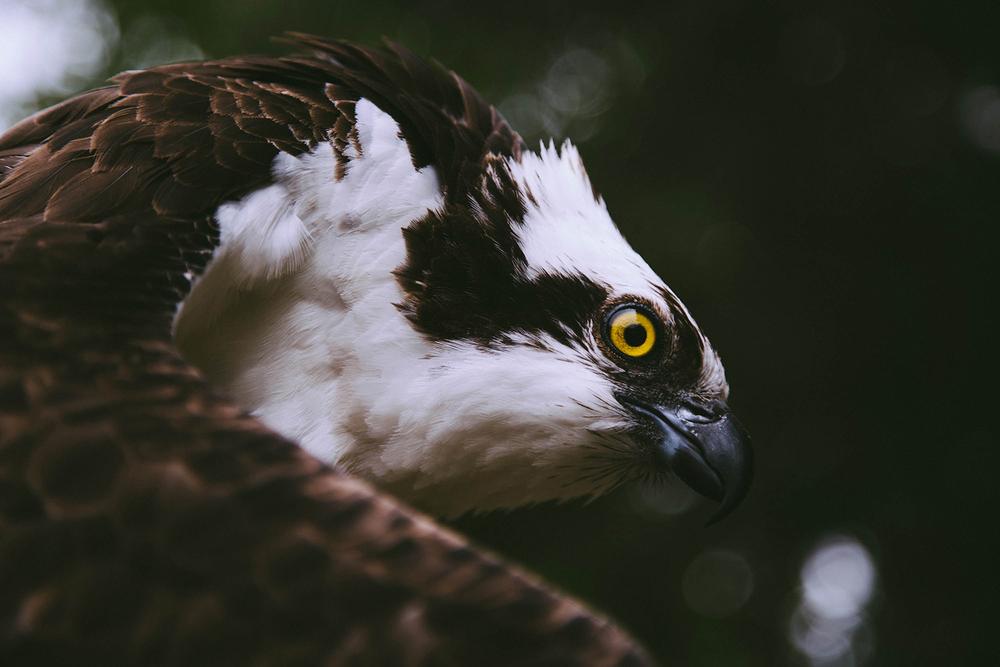 Osprey 2.jpg