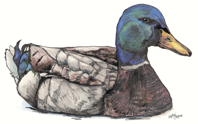 Duck(edit).jpg