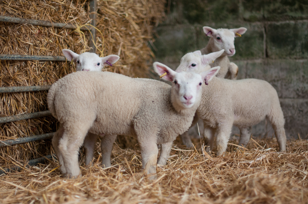 Tapnell Farm Lambs.jpg