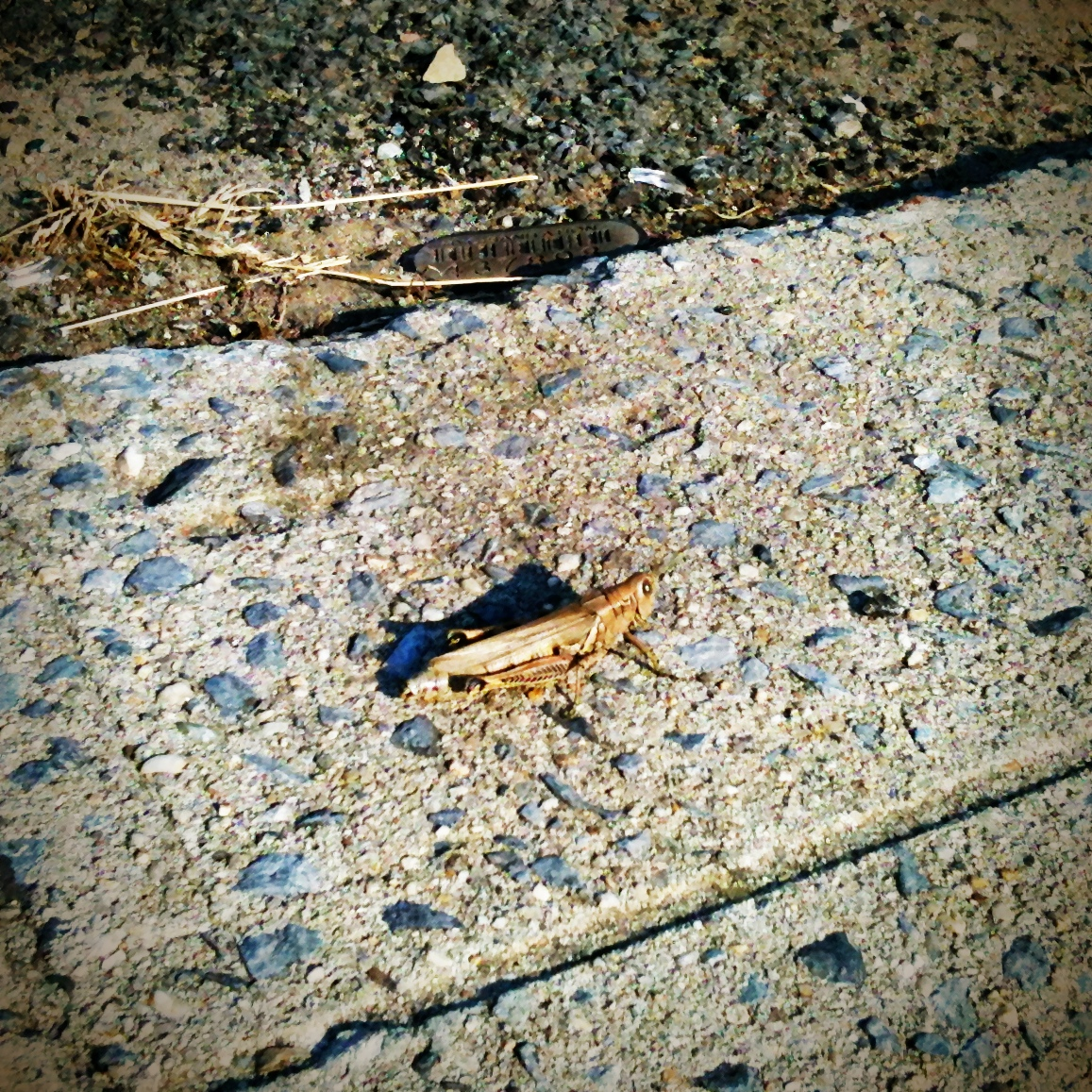 grasshopper in bushwick.  maybe powhida was right …    speaking of which, how about a call for photo responses! —> seen any unusual bugs/animals/zombies in your neighborhood lately?