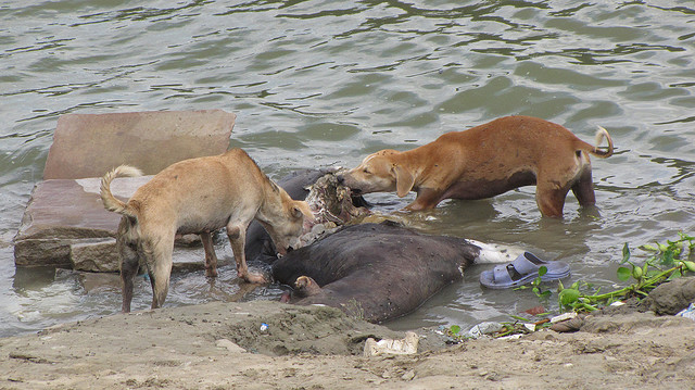 Dogs eating an ox, Varanasi, India. July 15th, 2009.
