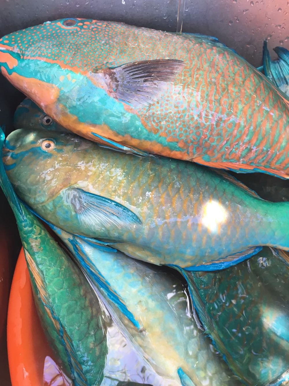Local Parrot Fish (La'gua / Palaske)