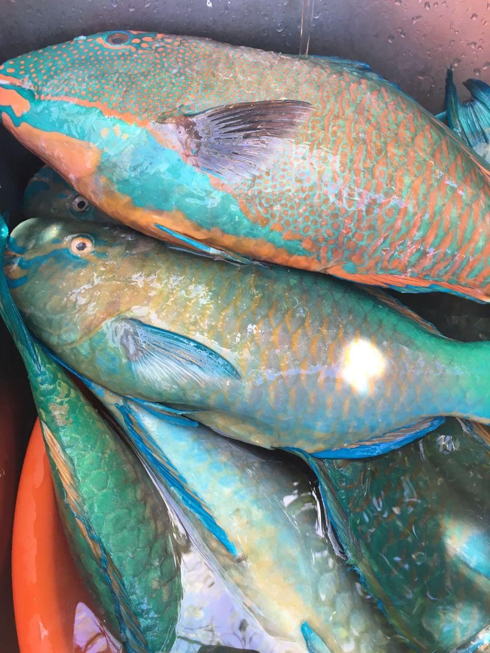 Local Parrot Fish (La'gua / Palaske)