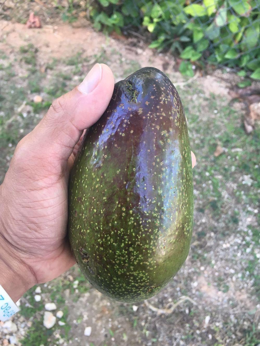 The morning's harvest - fresh avocado