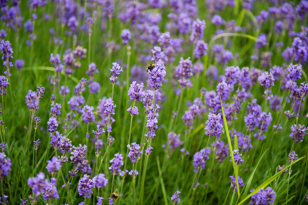 Lavender in the Garden - Photography: Weddings by KARA  © - Wedding Location: Kilshane House, Tipperary, Ireland