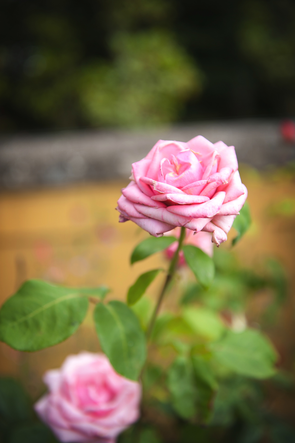 Pink rose in the garden - Photography:  Weddings by KARA   © - Wedding Location: Kilshane House, Tipperary, Ireland