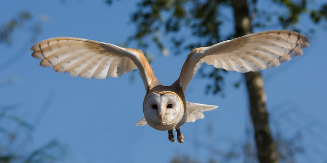 Which Animals Eat Rats? - The Barn Owl
