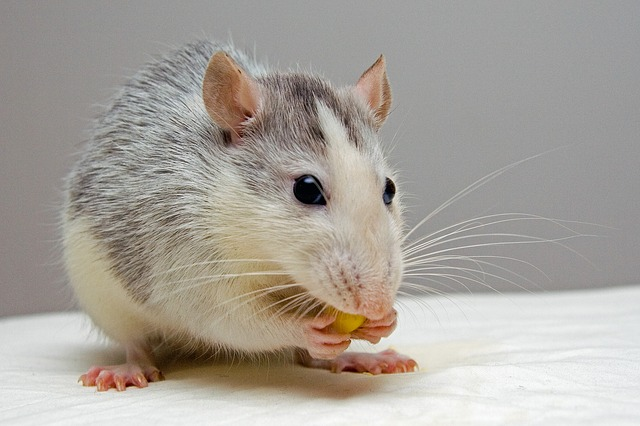 What Is The Difference Between A Rat And A Mouse?