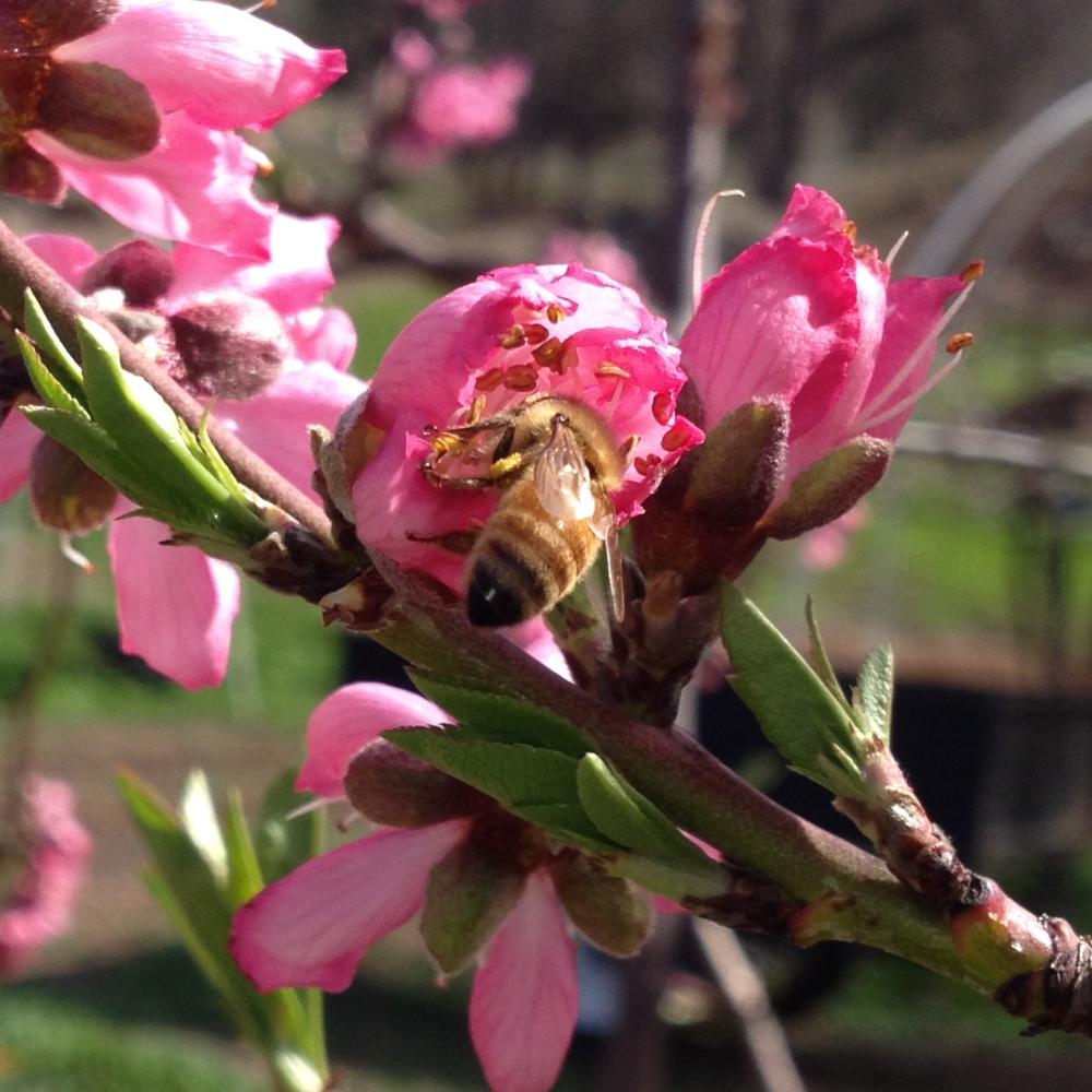 nectarine pollination