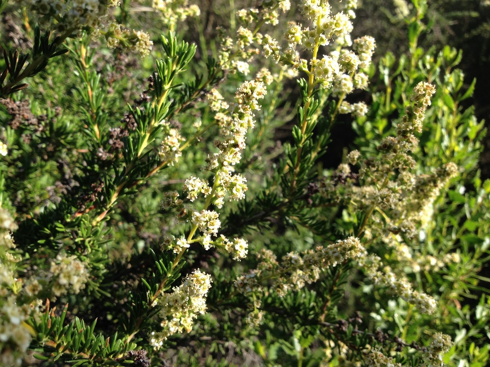 This little white blossom provides a medicinal pollen for bees immune system. We are thankful for the chapparal. Chapparal tea and tincture is also used for humans to build up the immune system and prevent bad cells.