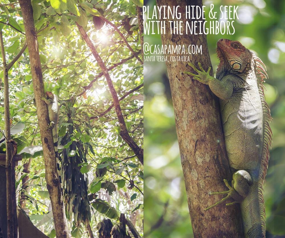 iguana-santa teresa costa rica-casapampa.jpg