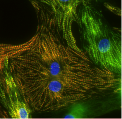 Close-up image of heart muscle cell