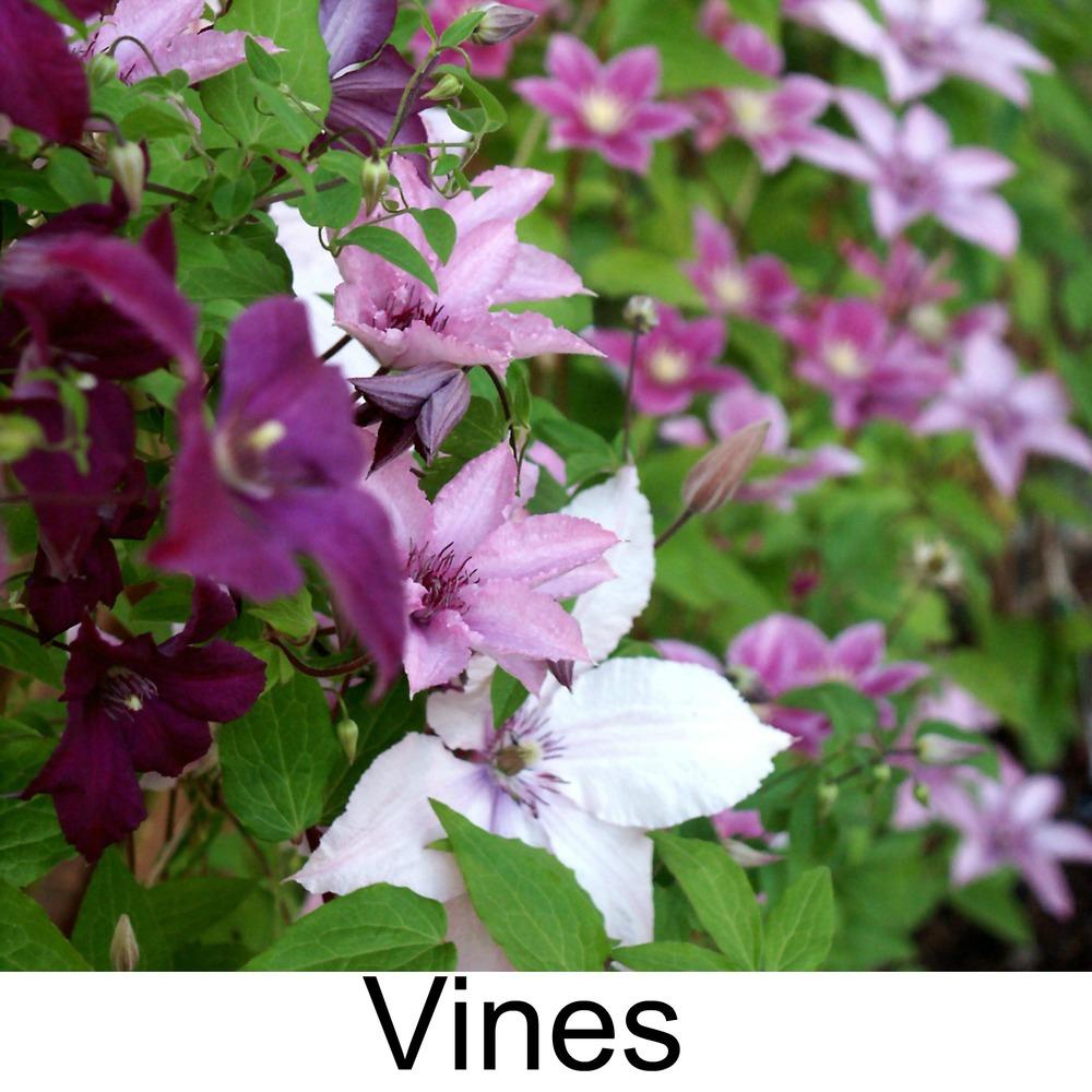 vines3.jpg