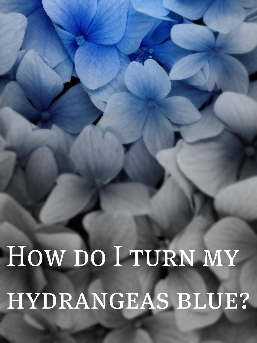 Blue Hydrangea Blossoms.jpg