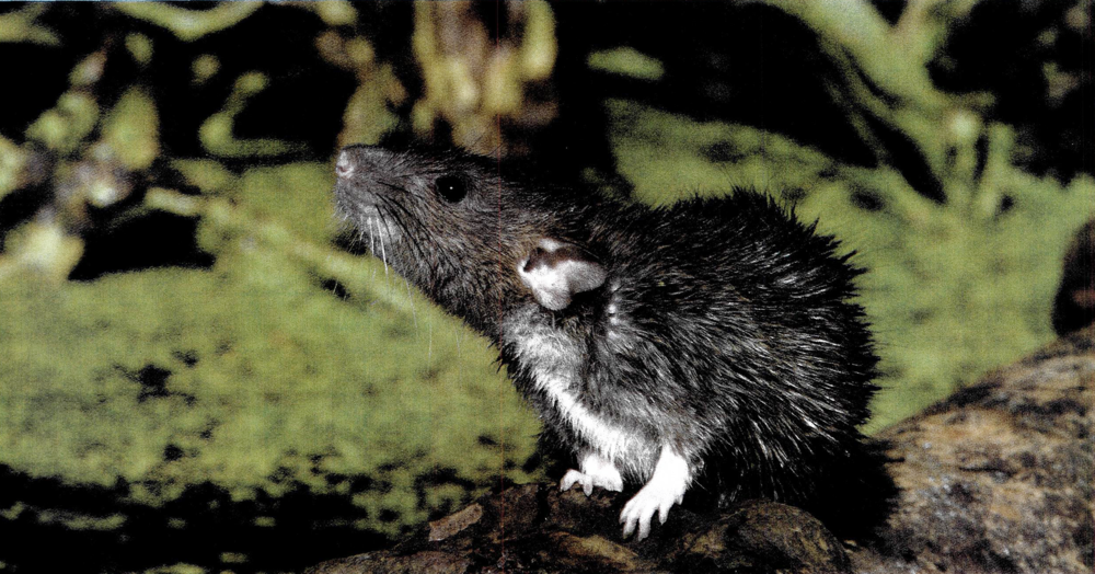 Rats transmit disease, damage property and cause emotional distress.  Preventing rats from coming in your house and eliminating those present is important and should be made a top priority!