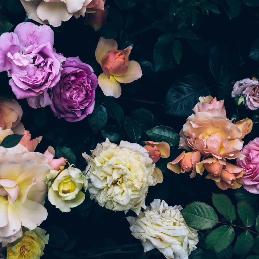 roses 1x1.jpg