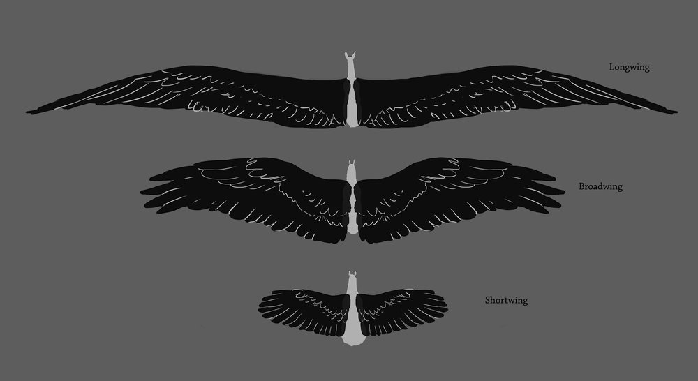 wing sizes relative 001 web.jpg
