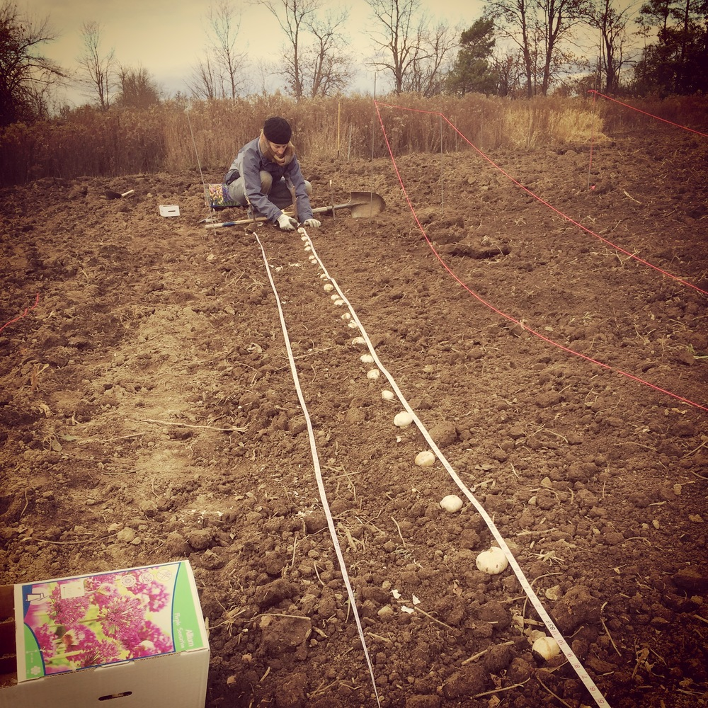 Sweet Jessica from Sweet Gale Gardens came to help plant bulbs in the fall. We already have tulips popping up!