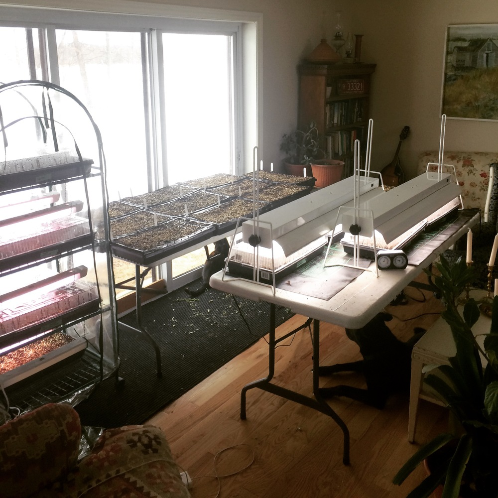 Living room grow op until the greenhouse is done!